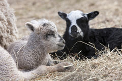 Lamb Easter Royalty Free Stock Photos