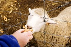 Lamb Eating. White sheep eating ice cream cone Royalty Free Stock Photos