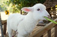 Lamb eating grass Stock Photos