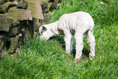 Lamb eating grass Royalty Free Stock Photography
