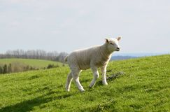 Lamb enjoying the sun. A lamb enjoys the sun and freedom in north England. Photo taken April 2015 Stock Photo