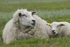 Lamb and ewe Stock Images