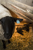 Lamb and ewe. Suffolk sheep with lamb on a local farm in Spring royalty free stock photo
