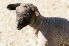 Lamb and ewe. Suffolk sheep with lamb on a local farm in Spring royalty free stock images