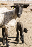 Lamb and ewe. Suffolk sheep with lamb on a local farm in Spring stock photography