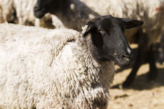 Lamb and ewe. Suffolk sheep with lamb on a local farm in Spring stock photo