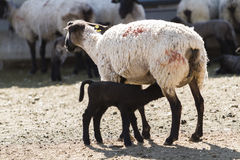 Lamb and ewe. Suffolk sheep with lamb on a local farm in Spring stock photos