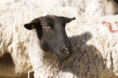 Lamb and ewe. Suffolk sheep with lamb on a local farm in Spring stock image