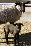Lamb and ewe. Suffolk sheep with lamb on a local farm in Spring stock images
