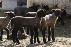 Lamb and ewe. Suffolk sheep with lamb on a local farm in Spring royalty free stock photography