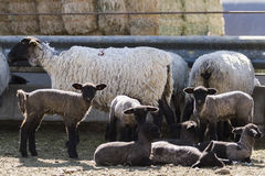 Lamb and ewe. Suffolk sheep with lamb on a local farm in Spring royalty free stock photos