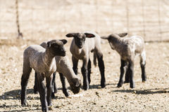 Lamb and ewe. Suffolk sheep with lamb on a local farm in Spring royalty free stock image