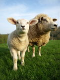Lamb and Ewe. Grazing in meadow stock photography