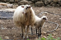 Lamb and ewe in a farm Royalty Free Stock Photography