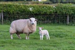 Lamb and ewe Stock Images