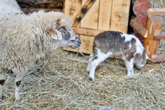 A lamb and an ewe near Nativity scene Stock Photo
