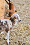 A lamb and an ewe near Nativity scene Stock Photography