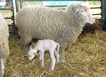 Lamb and Ewe. Newborn Lamb With Ewe Mother in Pen at Farm stock photography