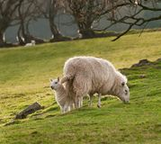 Lamb & Ewe (Ovis aries) on Welsh Hillside Royalty Free Stock Photo
