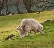 Lamb & Ewe (Ovis aries) on Welsh Hillside Royalty Free Stock Photo