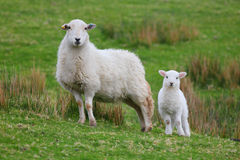 Lamb and ewe. White Spring lamb and Welsh mountain ewe Stock Images