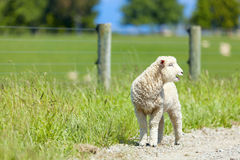 Lamb on the farm Royalty Free Stock Images
