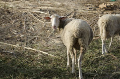 Lamb in farm. At Crete Island Greece,Europe Royalty Free Stock Images