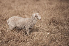 Lamb on the farm. During the day in Queensland royalty free stock photo