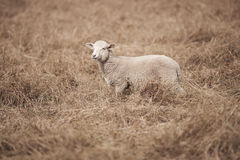 Lamb on the farm. During the day in Queensland stock images