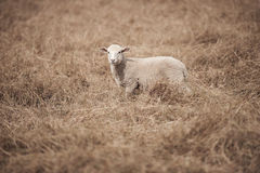 Lamb on the farm. During the day in Queensland stock photography