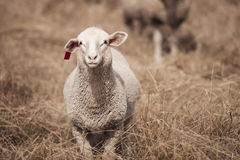 Lamb on the farm. During the day in Queensland royalty free stock images