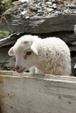 Lamb on a farm in Swanetia, Georgia, Europe Royalty Free Stock Photography