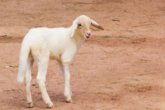 A lamb in a farm. In Thailand royalty free stock photo