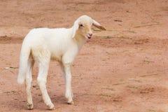 A lamb in a farm Royalty Free Stock Photo