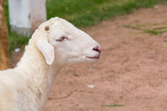 A lamb in a farm. In Thailand stock photography