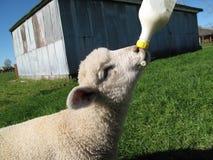 Lamb feeding Stock Photo