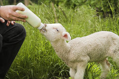 Lamb feeding Royalty Free Stock Photos