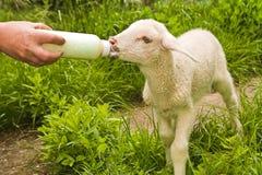 Lamb feeding Royalty Free Stock Photos