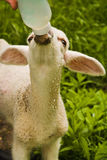 Lamb feeding Stock Images