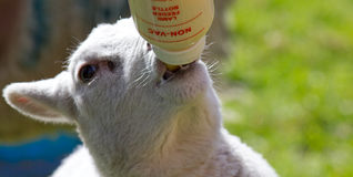 Lamb feeding from a bottle Royalty Free Stock Images