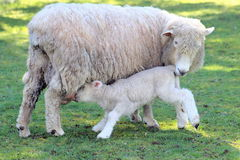 Lamb Feeding royalty free stock photography