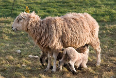Lamb feeding from it's mother Royalty Free Stock Photos