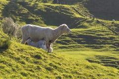 Lamb feeding from sheep Stock Photos