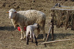Sheep family in a farm. Lamb feeding. Sheep family. A lamb suckles from its mother, in a romanian farm Stock Image