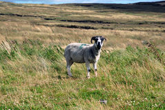 Lamb in a field. Grey lamb in the countryside Royalty Free Stock Photography