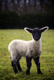 Lamb in Field Stock Photo