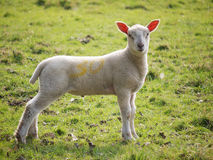 Lamb In Field Royalty Free Stock Images