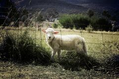 Lamb in field Royalty Free Stock Image