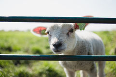 Lamb in field Stock Images