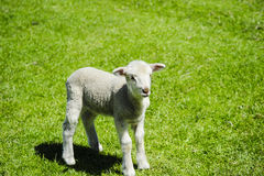Lamb in a field of grass Royalty Free Stock Photo